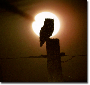 owl-on-telegraph